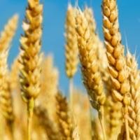 shavuot wheat on blue sky